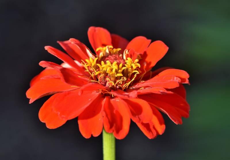 Zinnias Are Flowers That Represent Sadness