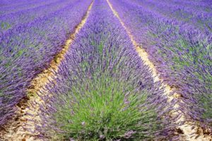 All Lavender Growing Stages Described