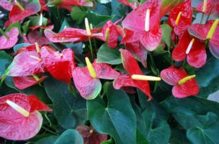 Anthurium Soil Requirements