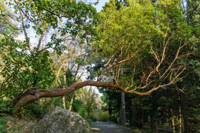 Arbutus marina tree care