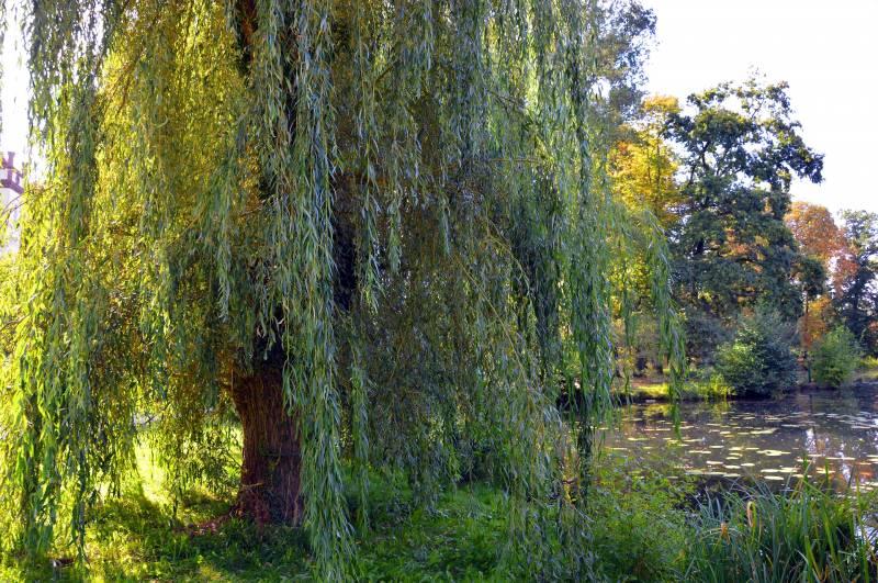 Areas Where Do Willow Trees Grow