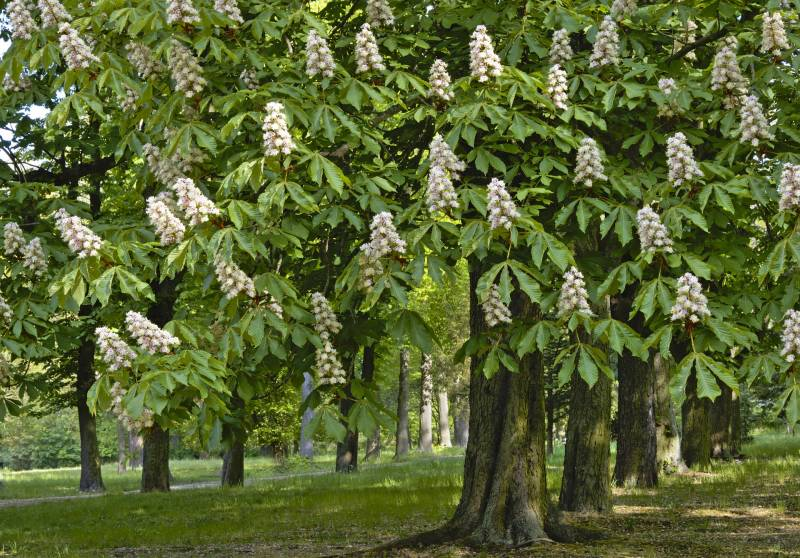 California Buckeye tree has white flowers in the spring