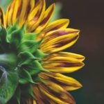 Can Sunflowers Grow In Shade? - Things To Keep In Mind