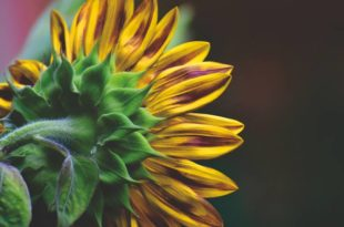 Can Sunflowers Grow in Shade