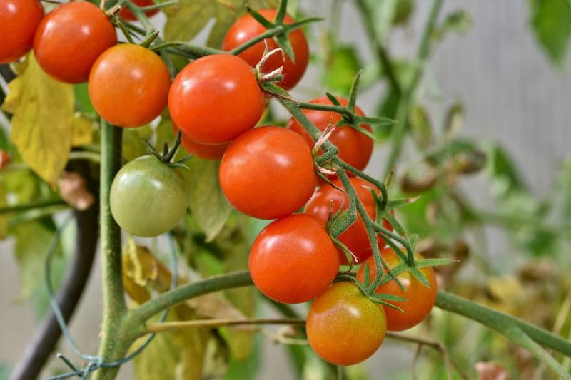 Getting rid of bugs on tomato plants