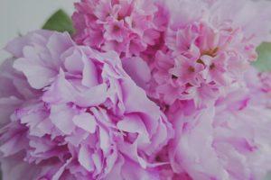 How to Keep Hydrangeas Pink