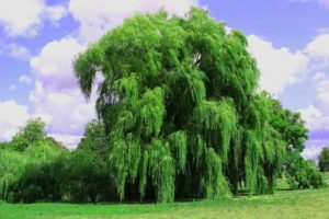 How to Make a Weeping Willow Tree Grow Faster