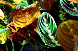 How to Revive a Prayer Plant