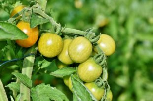 How to get rid of bugs on tomato plants