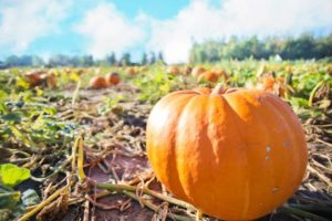 How to grow giant pumpkins with milk