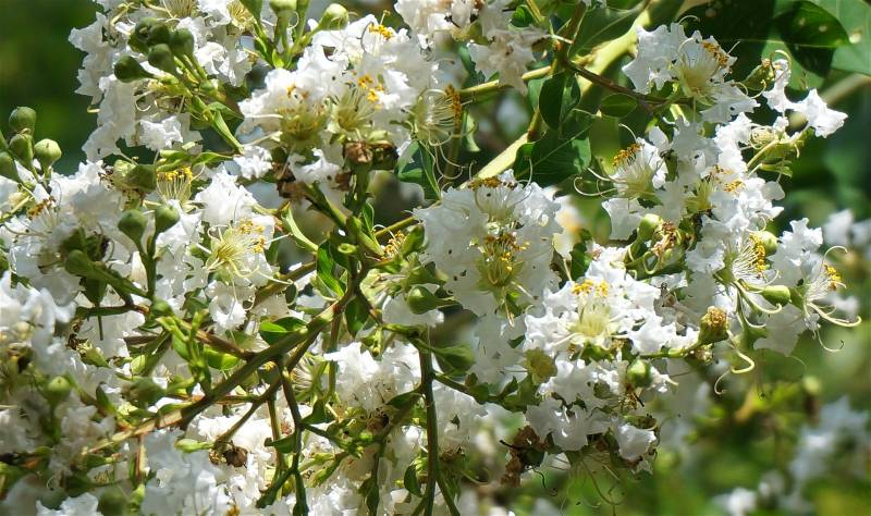 Japanese Crape Myrtle tree has white flowers in the spring