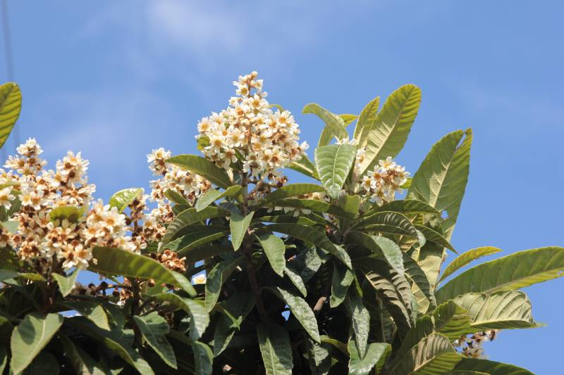 Japanese loquat tree has white flowers in the spring