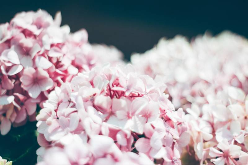 Keeping Hydrangeas Pink