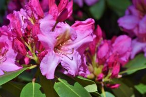Places to plant rhododendron