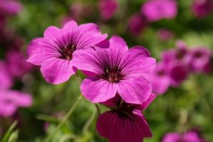 Reasons Geraniums Are Dying
