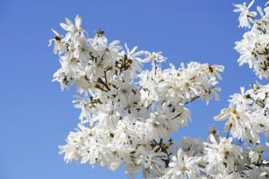Star magnolias tree has white flowers in the spring