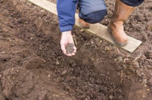 What Plants Like Chicken Manure