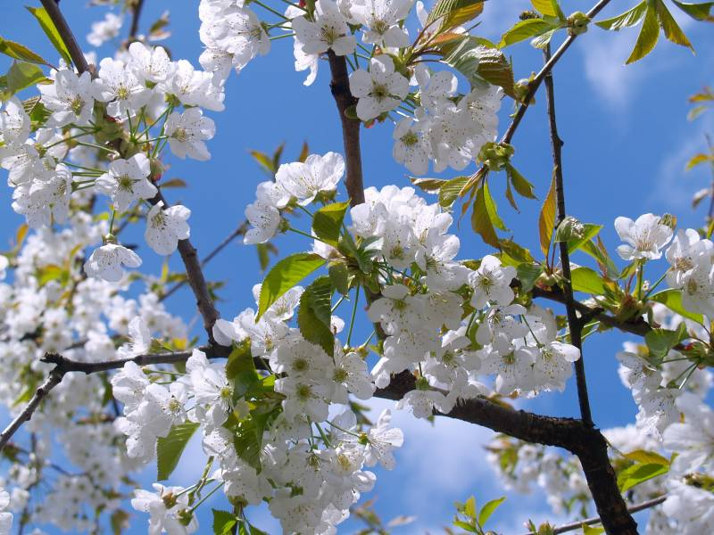 What kind of trees have white flowers in the spring
