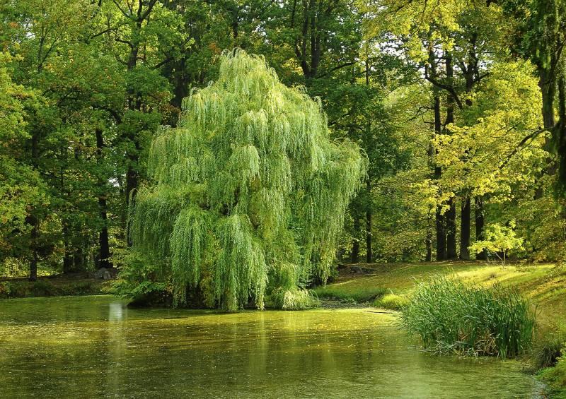 Where Do Willow Trees Grow