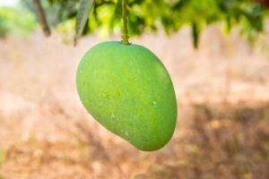 Where are mangoes grown around the world?