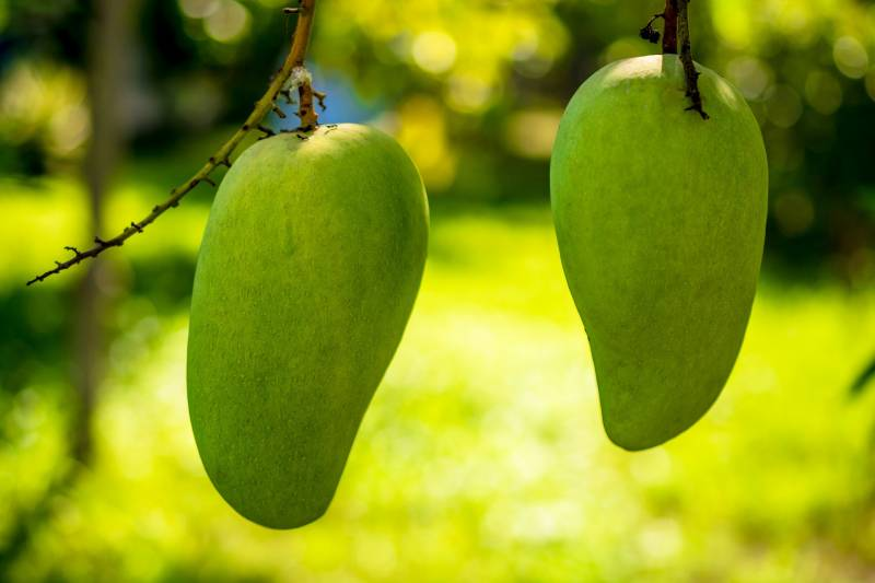Where are mangoes grown