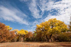 Where do Cottonwood Trees Grow