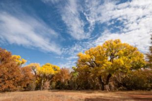 Where do Cottonwood Trees Grow