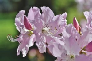 Where to plant rhododendron