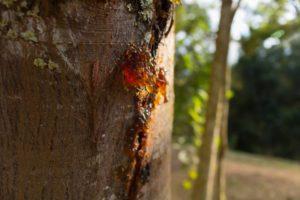 Why Do Trees Produce Sap