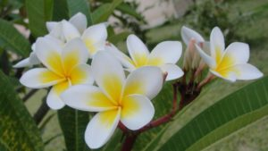 Why Plumeria Leaves Have Brown Spots
