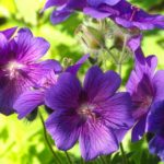 Why Are My Geraniums Dying? [Top Reasons]