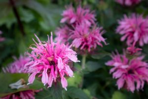Best time to cut back bee balm