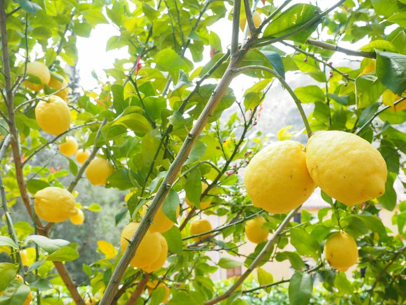 Making potting soil for citrus trees