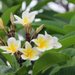 Plumeria Soil Guide - Soil Mix & Requirements
