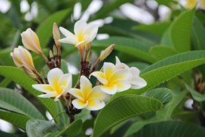 What Are Plumeria Soil Requirements