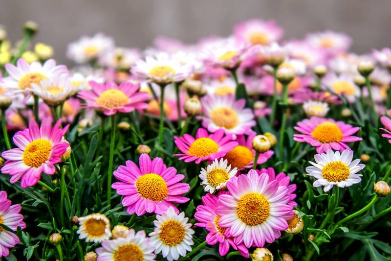 What to do with Potted Mums after Blooming