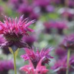 When To Cut Back Bee Balm? [All You Need To Know]