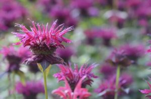 When to cut back bee balm