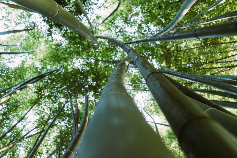 Where Does Bamboo Grow?