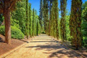 Where do cypress trees grow?