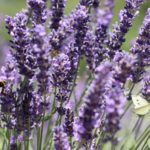 Lavender Light Requirements – Full Guide