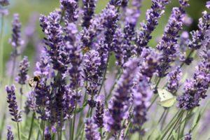 lavender light requirements