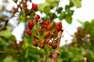 where do pistachio trees grow in US and around the world