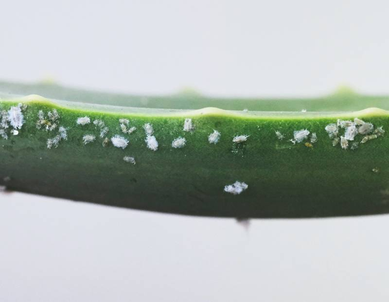 What Causes Mealybugs On Plants